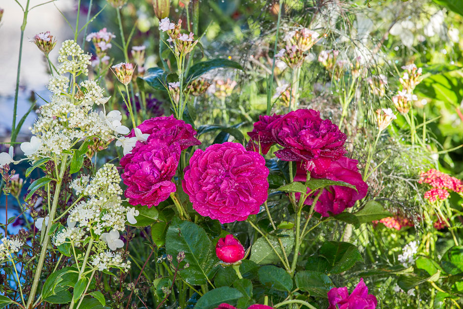 Jenny Blanc Blog - Benjamin Britten Roses