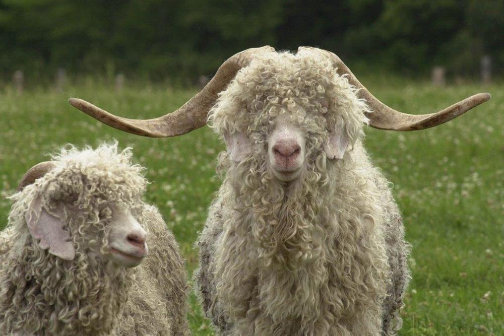 Jenny Blanc Blog - Goats courtesy of Misha rugs